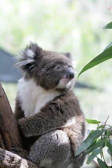 Koala, Australia, Phascolarctos Cinereus, Mammals