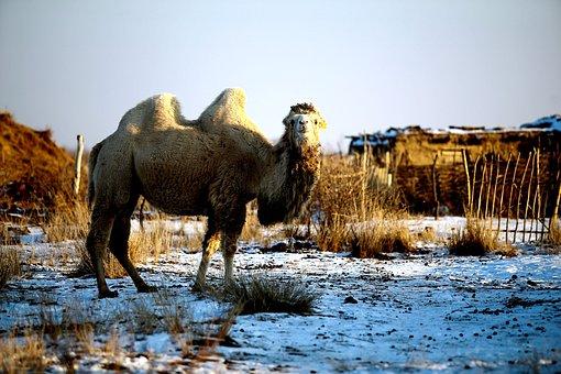 Outdoors, Nature, Mammals, No One, Animals, Camel