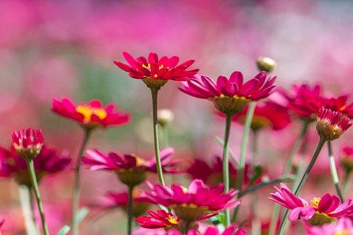 Chrysanthemum, Red, Many Wings, Natural