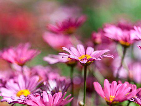 Chrysanthemum, Pink, Many Wings, Tansy, Flower