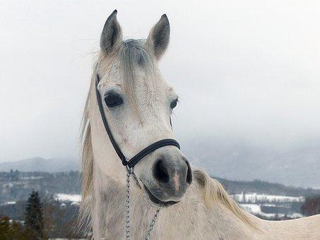 Thoroughbred, Arabic, Snow, Winter, White, Animal