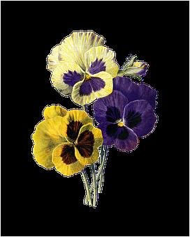 Flower, Vintage, Pansy, Pansies, Viola, Nature, Floral