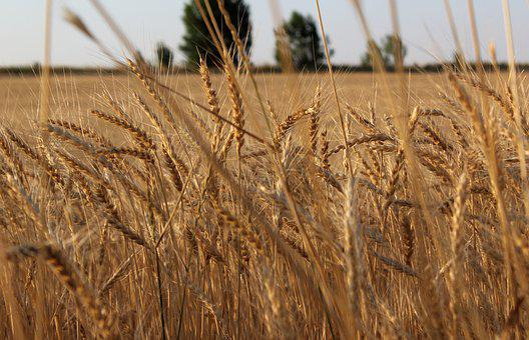 Wheat, Harvest, Agriculture, Field, Nature, Kazakhstan