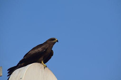 Wildlife, Bird, Nature, Outdoors, Sky, Raptor, Eagle