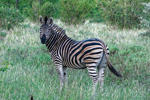 South Africa, Zebra, Kruger Park