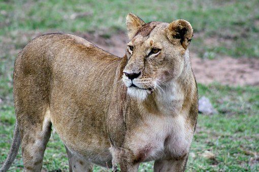 Mammal, Wildlife, Animal, Nature, Wild, Lioness, Safari
