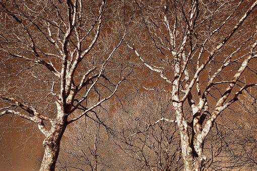 Plane Tree, Tree, Tree Top, Bare Tree, Bare Branch