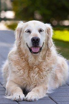 Dog, Pet, Mammal, Cute, Golden Retriever, Funny, Age