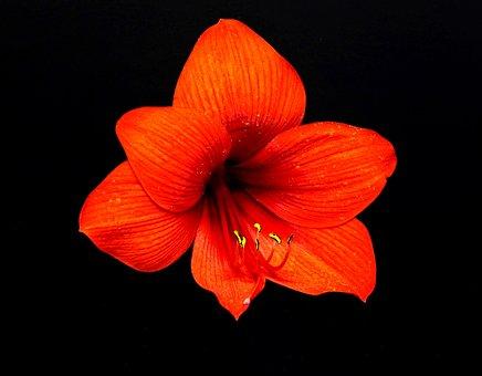 Amaryllis, Flower, Plant, Petal, Nature, A