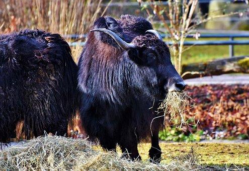 Wool Beef, Beef, Galloway, Livestock, Furry, Shaggy