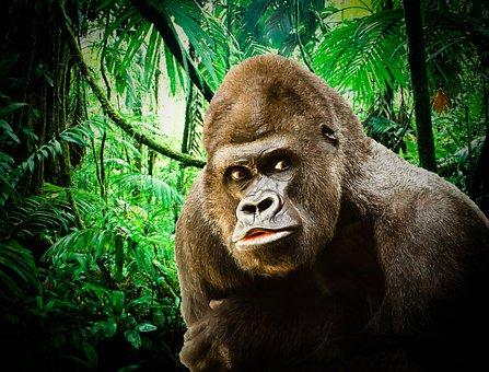 Gorilla, Silverback Gorilla, Ape, Pride, Monkey, Nature