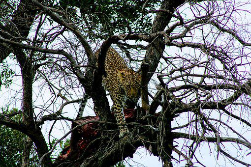 Tree, Nature, Branch, Wood, Outdoors, Leopard