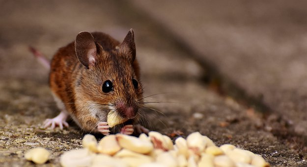 Wood Mouse, Rodent, Nager, Food, Eat, Peanuts, Mouse