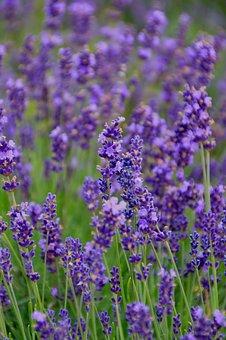 Flower, Plant, Nature, Perfume, Field, Garden, Summer