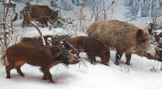 Wild Boars, Rotte, Winter, Snow, Group, Mammals, Cold