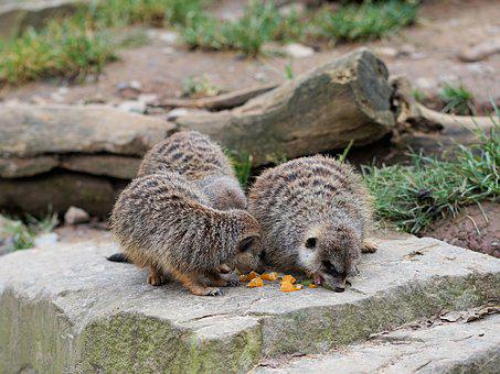 Meerkat, Animal, Fur, Nature, Curious, Vigilant, Mammal