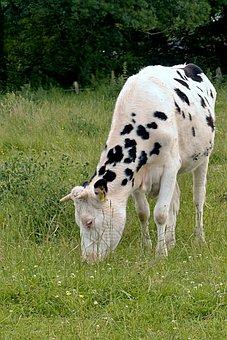 Animal, Beef, Calf, Vitula, Young, Livestock