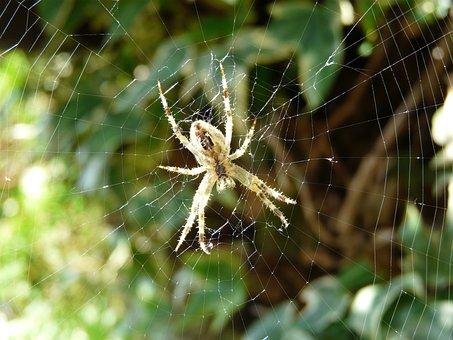 Spider, Cobweb, Arachnid, Case, Phobia