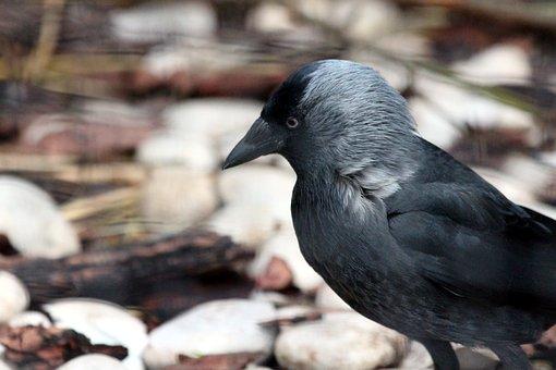 Jackdaw, Coloeus Monedula, Bird, Corvids, Living Nature