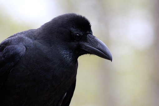 A Crow, Corvus Macrorhynchos, Bird, Crow, Living Nature