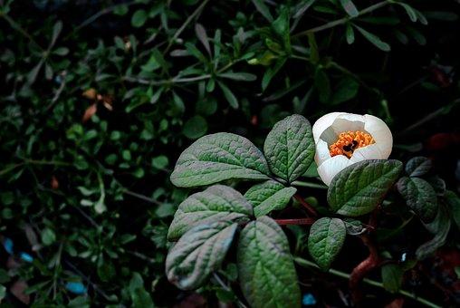 Mountain Peony Flowers, Nature, Plants, Jiri