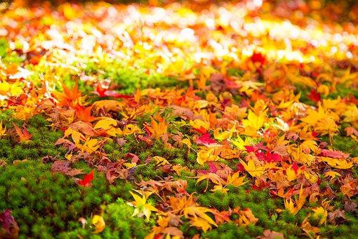 Autumn, Leaf, Seasonal, Maple, Natural