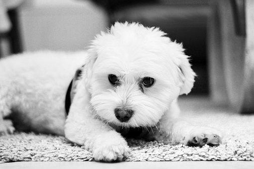 Cute, Animal, Dog, Mammal, Pet, Small, Sit, Adorable