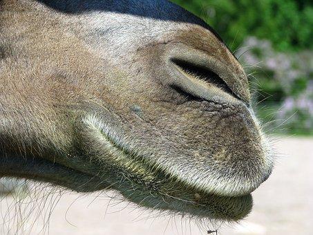 The Animal Kingdom, Nature, Animal, Mammals, Camel