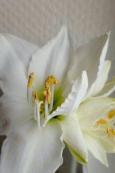 Flower, Nature, Plant, White, Amaryllis, Close