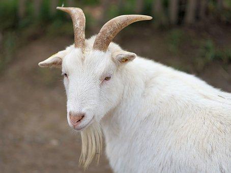 Goat, Goatee, Nature, Farm, Fur, Animal, White