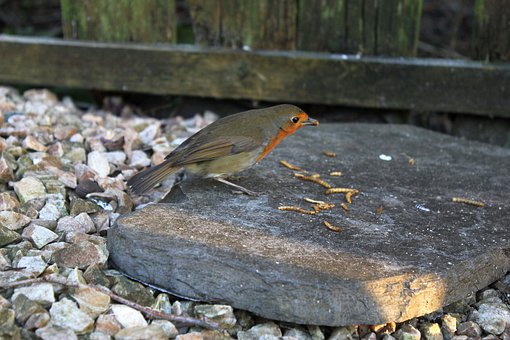 Bird, Robin, Redbreast, Nature, Outdoors, Mealworms