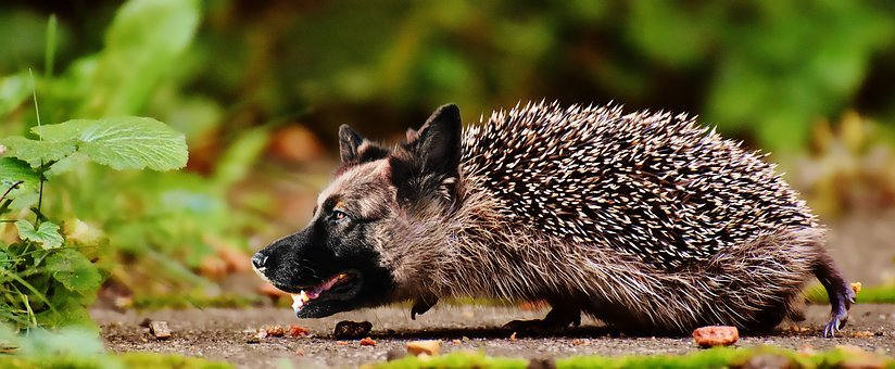 Shepherd, Hedgehog, Dog, Wildlife, Nature, Animal