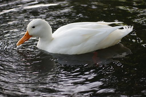 The Birds, Nature, Wild Animals, The Bathing, Mallard