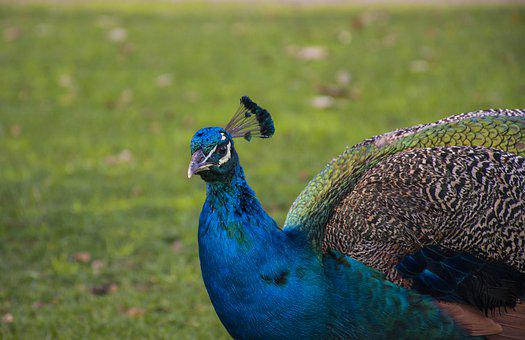Birds, Nature, Wildlife, Pity, Tail, Color, Peacock