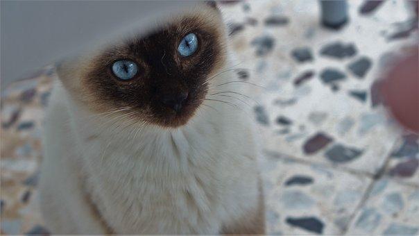 Nice, Animal, Eye, Portrait, Looking For, Cat, Siamese