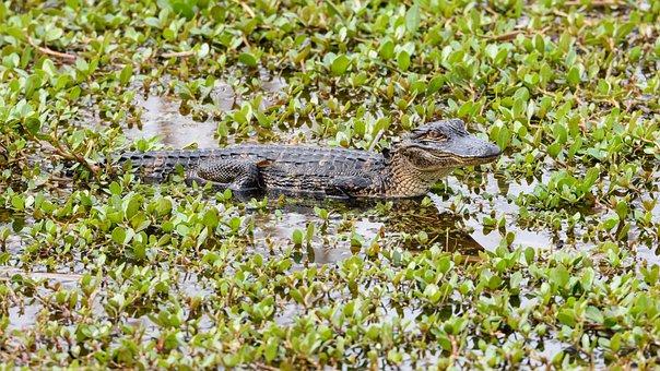 Nature, Reptile, Animal, Water, Wildlife Baby Animal