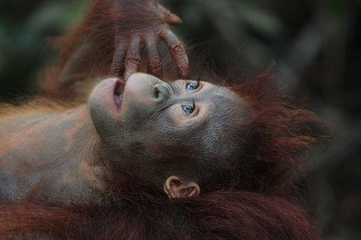 Wildlife, Mammal, Monkey, Primate, Ape, Baby, Orangutan