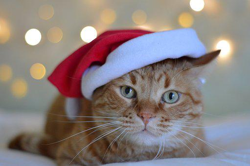 Nice, Cat, Animal, Portrait, Pet, Domestic, Christmas