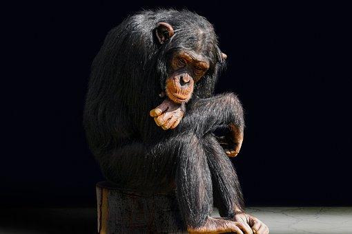 Animal, Primate, Monkey, Boredom, Chimpanzee, Portrait