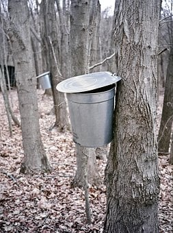 Maple, Bucket, Extraction, Sugar Maple, New England