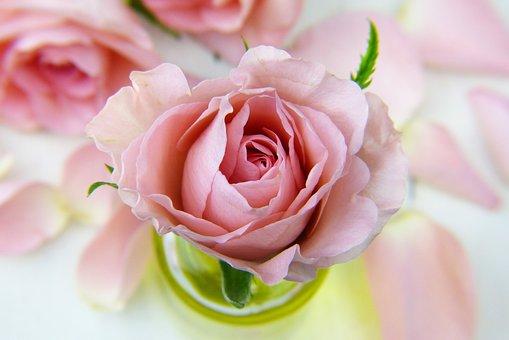 Rose, Love, Floral, Petal, Pink, Beauty, Flowers, Bloom