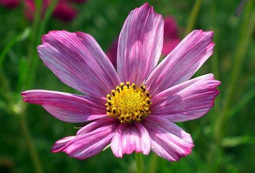 Nature, Flower, Kosmea, Pink, Plant, Summer, Garden
