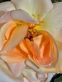 Rosa, Pistils, Flower, Flowers, Stamens, Pink, Petals