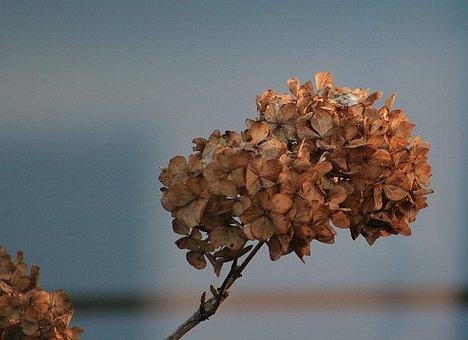 Nature, Plant, Dry, Hydrangea
