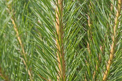 Nature, Plant, Tree, Needle, Pine, Closeup, Needles
