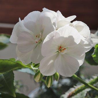 Flowers, White, Plants, White Color, Pure, Clear, Fair