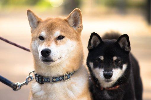 Shiba Inu, Dog, 犬科, Mammal, Animal, Cute, Pet, Puppy