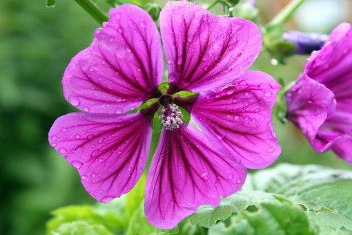 Flower, Nature, Plant, Garden, Summer, Mallow, Teemalve
