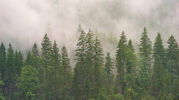 Wood, Nature, Tree, Landscape, Conifer, Fog, Summer