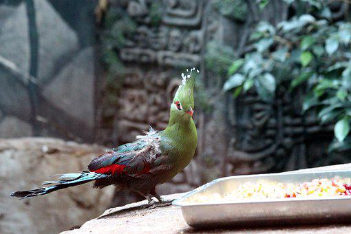 The Guinea Turaco, Tauraco Persa, Bird, Nature